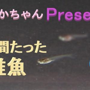 【メダカちゃんpresents】生後3週間程の稚魚観察。