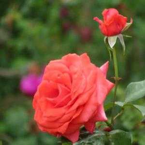 Gifu / Rose Garden ( 3)