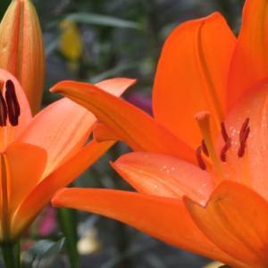 Gifu / Tanigumi Lily Garden ( 1 )