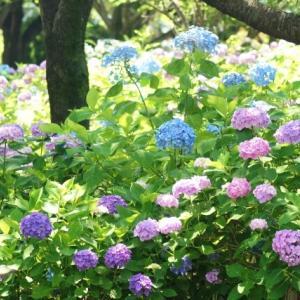 相模原北公園のあじさい(紫陽花)2021の種類がすごい!見頃や開花状況も解説