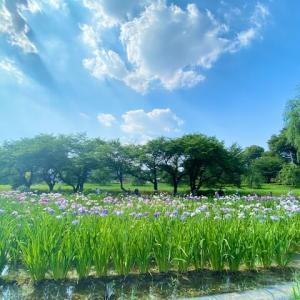 上尾丸山公園の花菖蒲2021は紫陽花とのコラボが美しい!観賞の後は武蔵野うどんを!