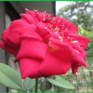 庭のバラ~~ラブちゃんに尺取りむし&暑さにがんばるバラたち