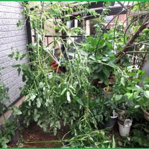 台風で折れてしまった皇帝ダリア&庭の花
