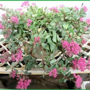 庭の花~~多肉植物ミセバヤ他