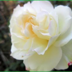庭のバラ   &   菊