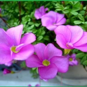 庭の花    オキザリス 桃の輝き   バーシーカラー    フラバ    千両    万両