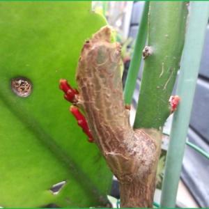 月下美人 新芽 と さし木  多肉植物 不死鳥
