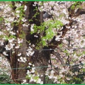 大島桜  多肉植物 バラ咲きカランコエ 他