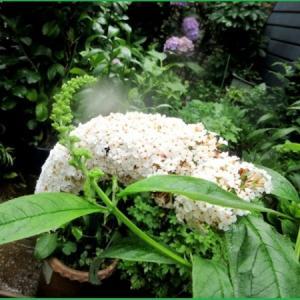 ブットレア ホワイト  ルドベキア アーバンサファリ フォレストグリーン                                                                                                  ギボウシ ゴールデンティアラ 斑入り