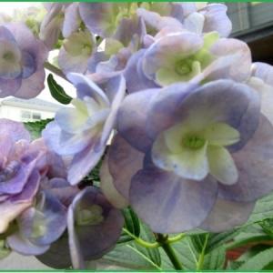 紫陽花 十二単 ベコニア ダブレット フロックス