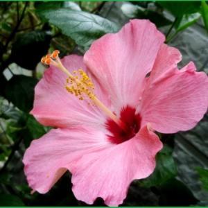 庭の花 ハイビスカス ボタンクサギ エキナセア ランタナ