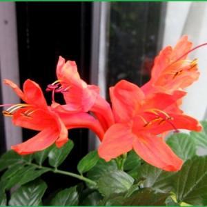 花と虫たち  ヒメノーゼンカズラ