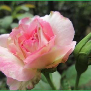 真夏のバラ  ストロベリーアイス 他  クレマチス
