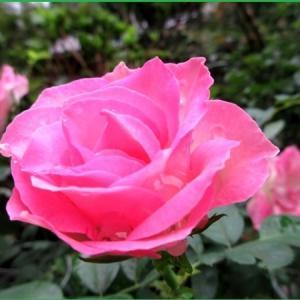 庭のバラ   &  彼岸花
