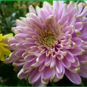 留守の間に咲いた菊たち