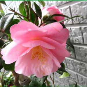 鉢植えの椿 つばき姫  地植え 乙女椿