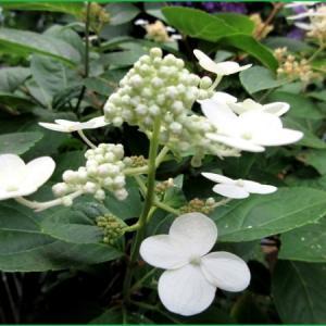 ダルマノリウズキ  紫陽花                                                        アルストロメリア プルケラ 原種 の群生  他