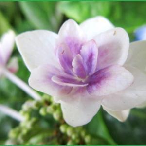 紫陽花 コンペイトウ 藍の瞳 咲き続ける紫陽花たち