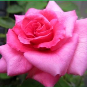 真夏のバラ たち &  いただいた採りたて野菜