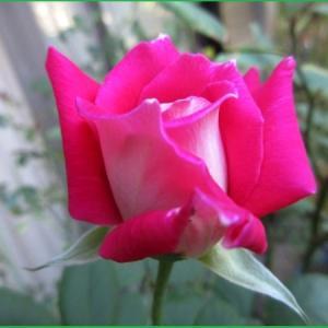 庭のバラたち &  ハイビスカス 他