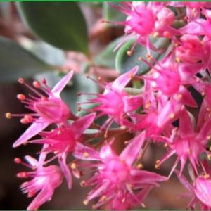 庭の花 ミセバヤ バラ咲きインパイェンス 八重 ホワイトゼラニュウム他