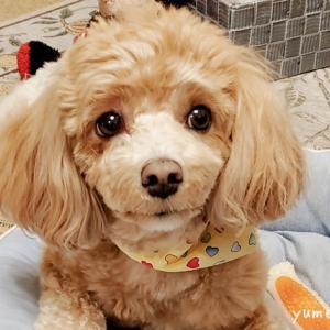 結膜炎じゃなかった!誤診で愛犬に間違った治療を続けた3ヶ月の記録