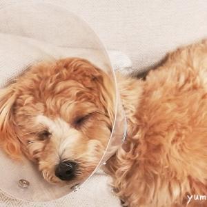 愛犬の避妊手術を振り返る~メリット&デメリット・術後の様子