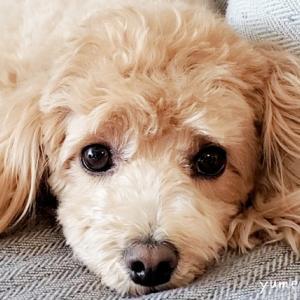 愛犬の外耳炎治療~1週間後の様子~