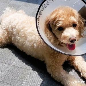 愛犬の手術無事終了!エリカラ着けてたって遊ぶもん