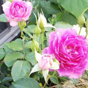シェエラザード2番花