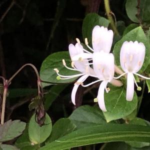 忍冬(すいかずら)の花