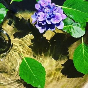 紫陽花と梅シロップ