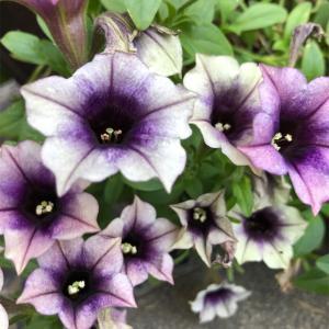 *紫色のペチュニア