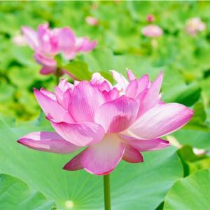 *ピンクの蓮池