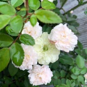 *ポンポン咲きグリーンアイス&オリヅルランの水栽培
