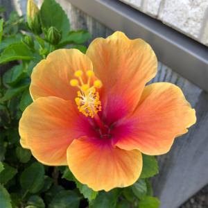 *ハイビスカス オレンジ&ピンクの同時開花