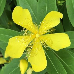 ビヨウヤナギの花咲く