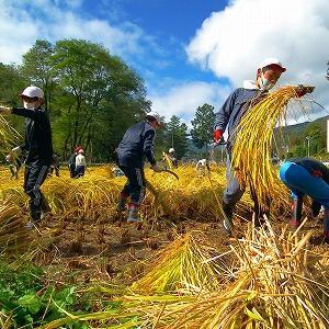 上田市の武石小学校の児童が、自分達で名付けたコシヒカリ「武光(たけひかり)米」を刈りとる!