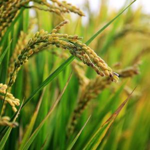 お米は日本人にとって特別な食べ物