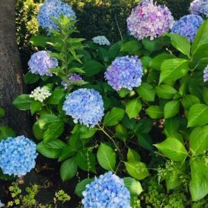 美しき、紫陽花よ。