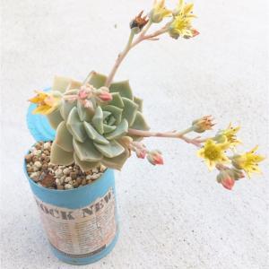 多肉植物が花を咲かせはじめた時どうしますか?