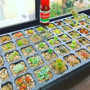 多肉植物のカット苗が届いた後、根を出すまでの待機方法 ーメネデールを補助的に使うー