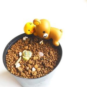 多肉植物のリトープスが脱皮中。ドラゴンボールの登場人物に似ていると子供にも人気の品種だそうです。