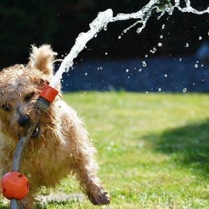 【画像】「暑い無理」と伝わってくる犬(キャバション)がかわいいと話題w反応まとめ【インスタあり】