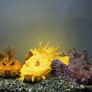 【自由研究】「金」「銀」「銅」の色をした3匹のオニオコゼ「サンシャイン水族館」で期間限定展示!
