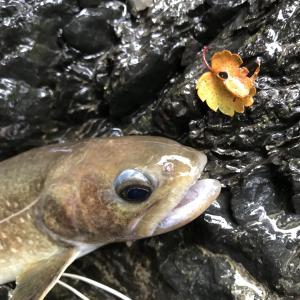 昨日は尺ヤマメ、今日は尺イワナ!釣り人目線ですが、いいシーズンでした!上野村中ノ沢毛ばり釣り専用区2021