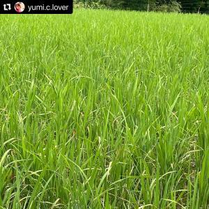 【無農薬米の草とり開始!】農家さんの手仕事。尊い!フェットルマルシェのお米
