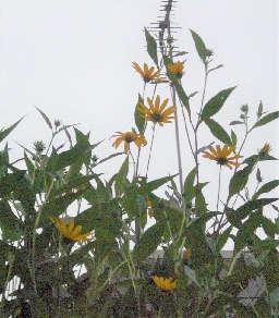 菊芋の花が咲く