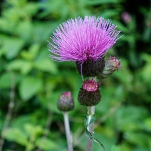 トゲトゲしいスコットランドの国花
