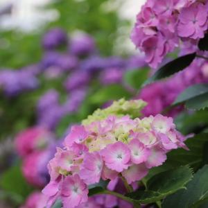 〈風景写真・動画〉紫陽花が見頃です【桜井市/長谷寺】